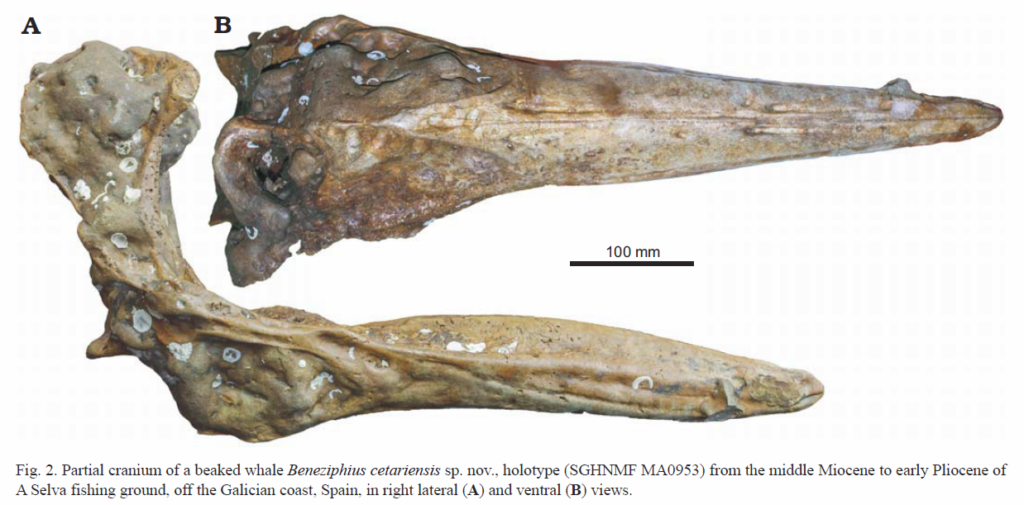 mijan-et-al-new-species-of-the-beneziphius-beaked-whale