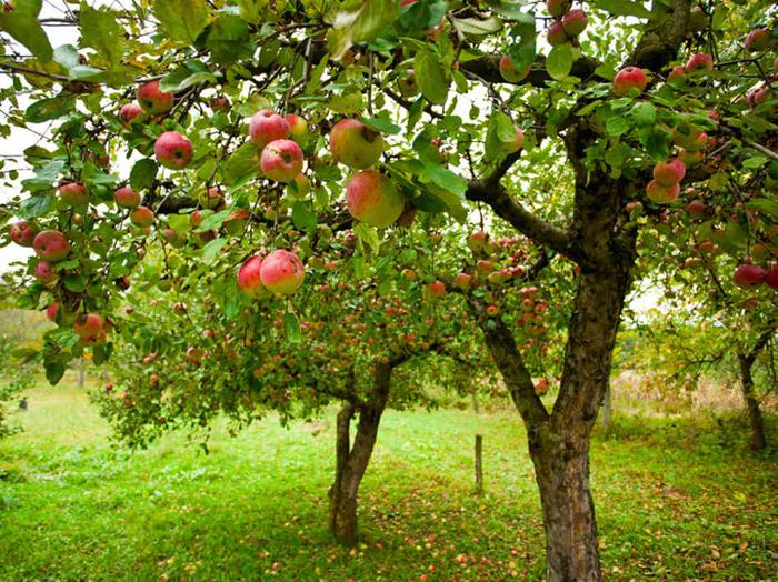No camiño das maceiras esquencidas